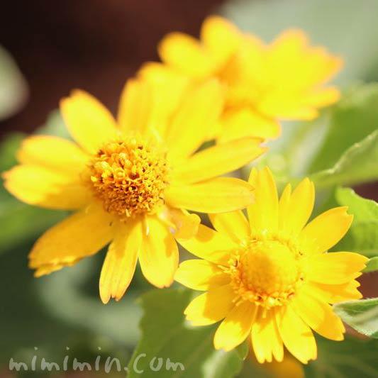 メランポジウムの花の写真