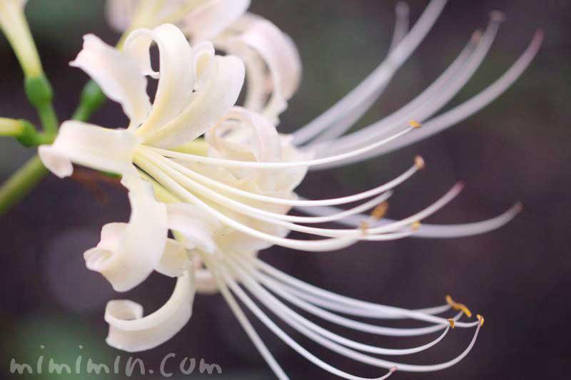 白花曼珠沙華の花に写真