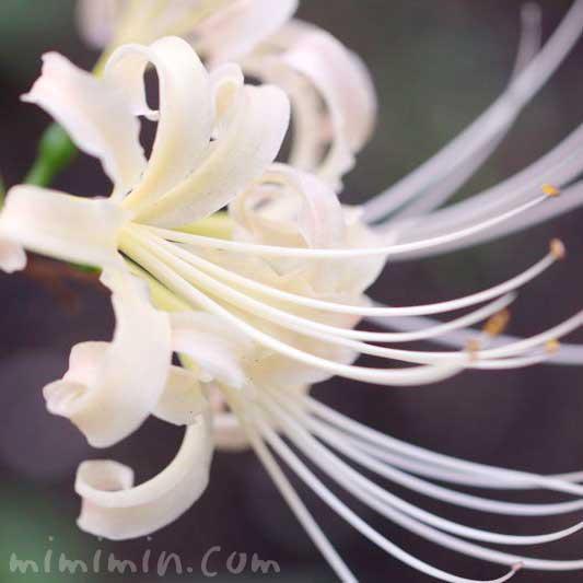 白いヒガンバナの画像