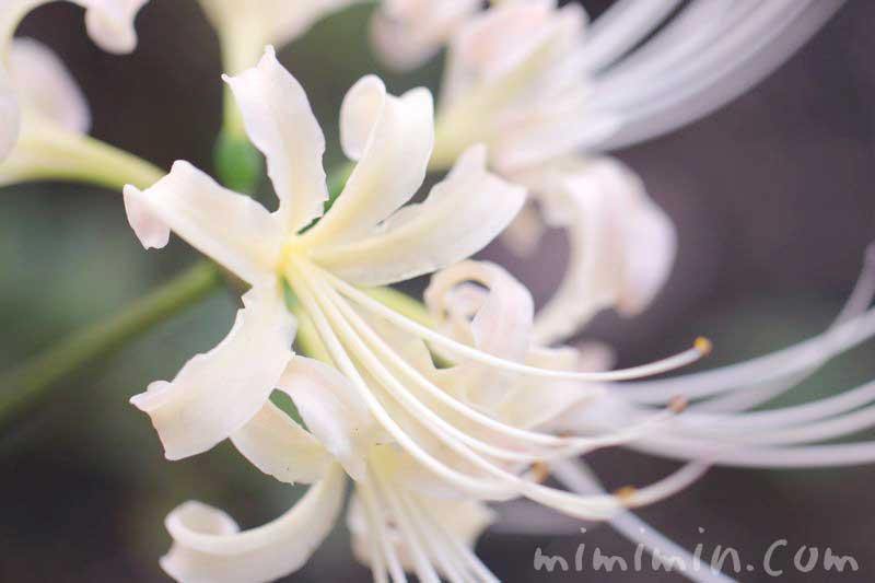 白花曼珠沙華の画像