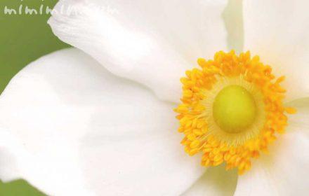 シュウメイギク(白々)の花言葉と誕生花