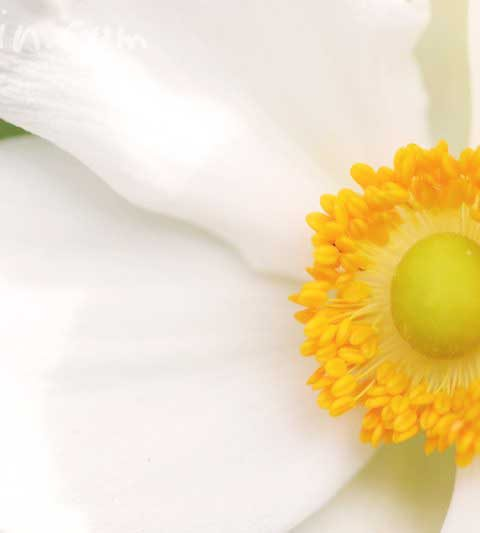 シュウメイギク(秋明菊)の花言葉・誕生花・別名・毒性