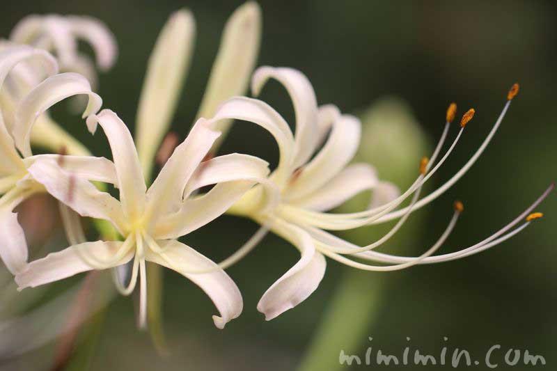 シロバナマンジュシャゲの花の写真