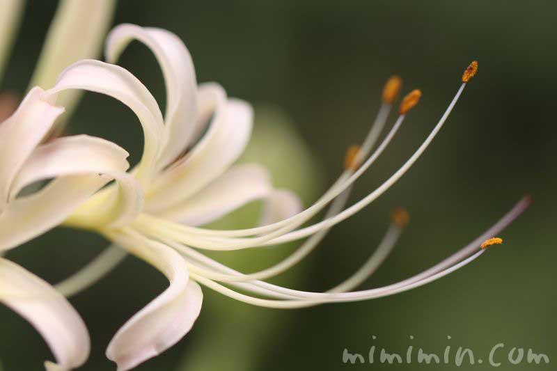 リコリスの花の画像