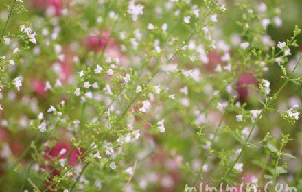 カラミンサの花の写真