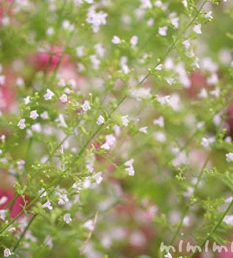 カラミンサの花の写真・花言葉・名前の由来