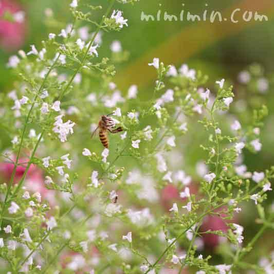 カラミンサ・ネペタの花の写真