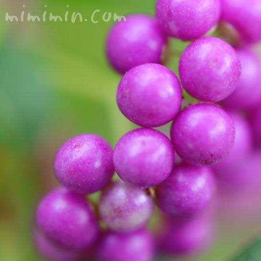 紫の実の画像