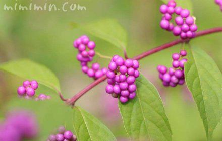 紫色の実の写真