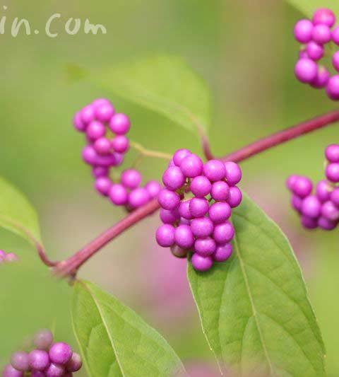 コムラサキ(小紫)とムラサキシキブ(紫式部)の花言葉・名前の由来