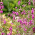 ミソハギの花の写真