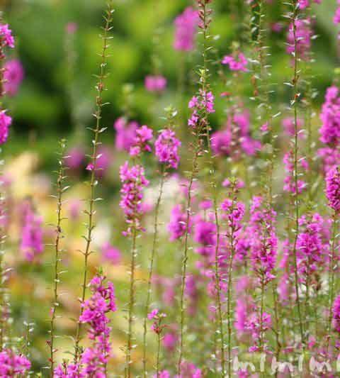 ミソハギの花の写真・花言葉・名前の由来・誕生花