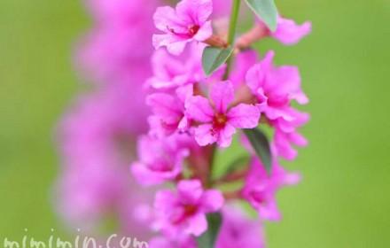 禊萩の花の写真