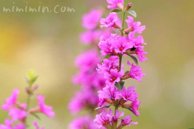 ミソハギ・赤紫色の画像