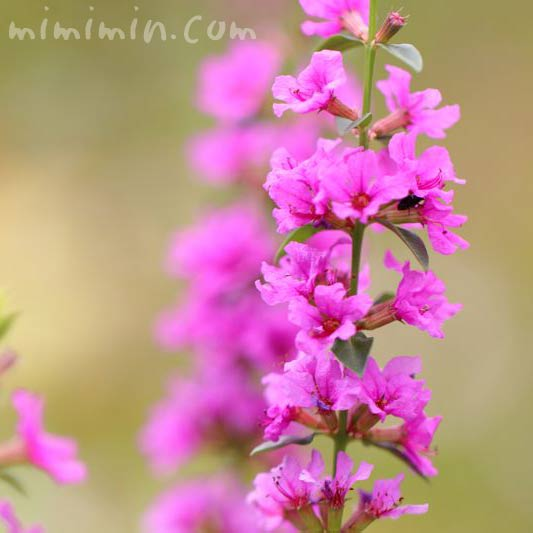 ミソハギ・赤紫の画像