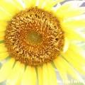 向日葵の花の画像