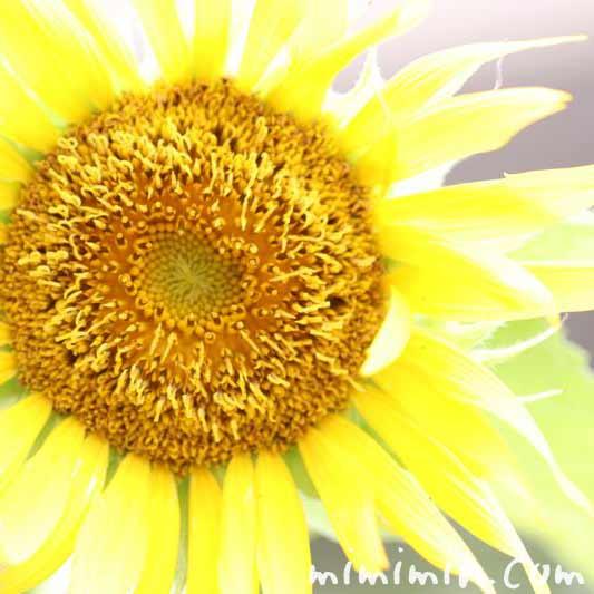 向日葵 ヒマワリの花の画像