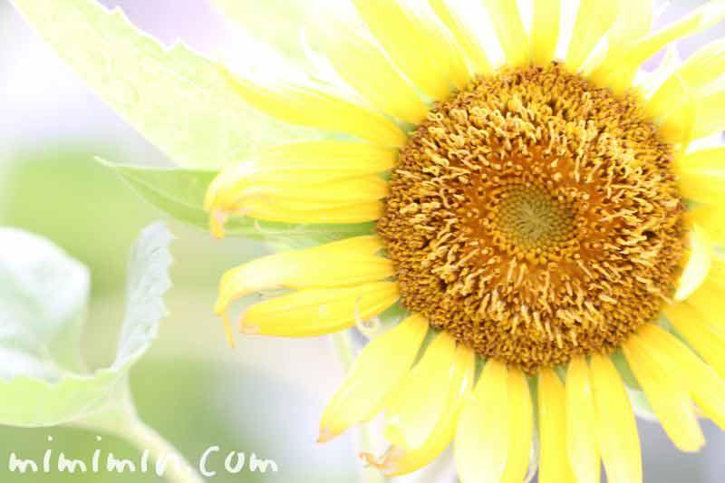 向日葵の花・黄色のひまわりの画像