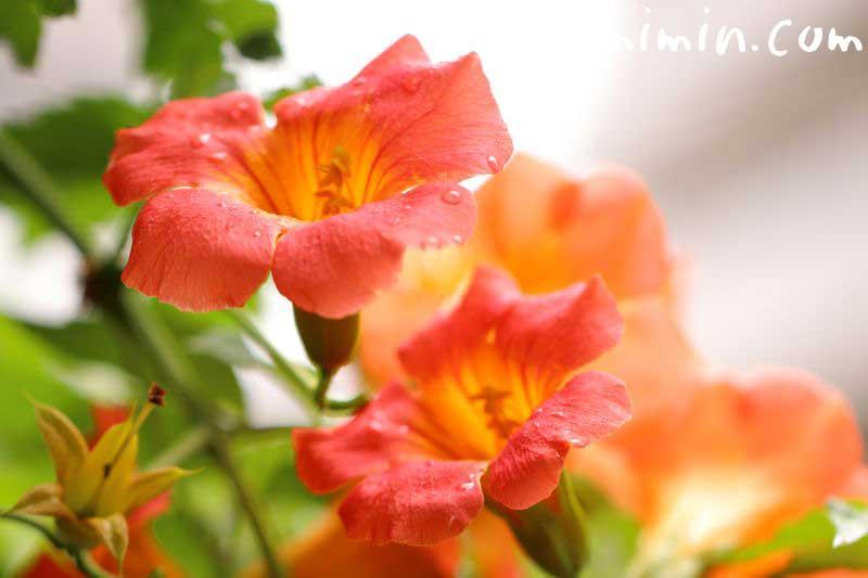 凌霄花の画像