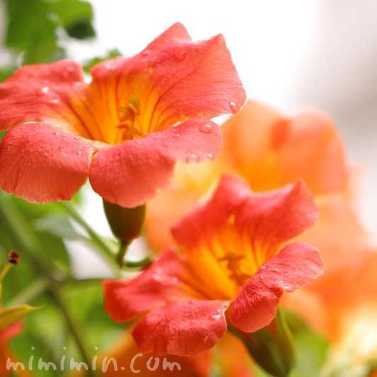 橙色のノウゼンカズラの画像