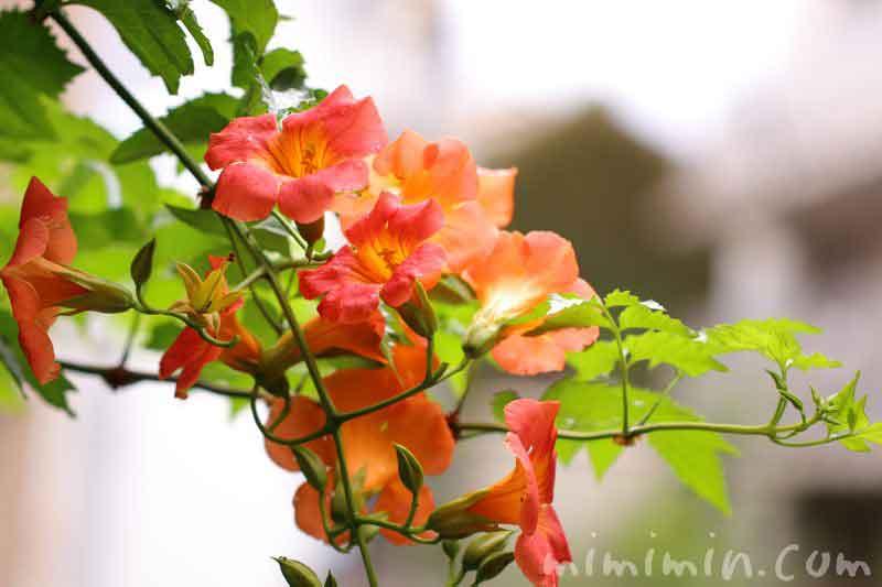 橙色のノウゼンカズラの花の写真