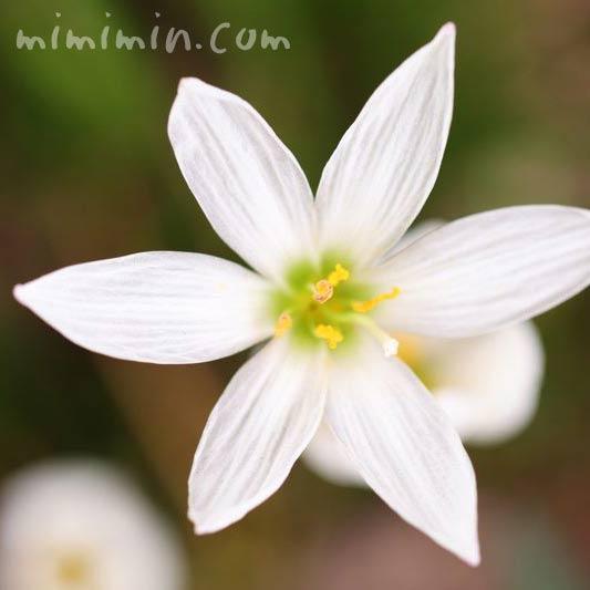 白いタマスダレの花の写真