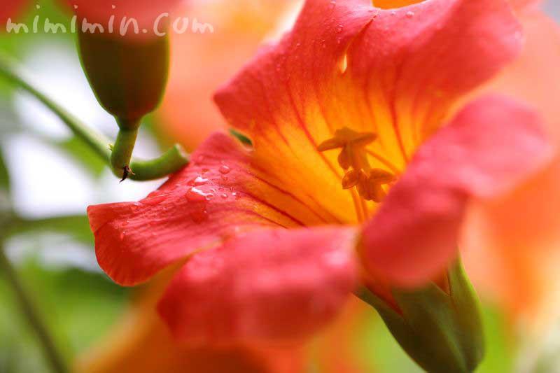 ノウゼンカズラ オレンジ色の画像