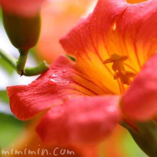 ノウゼンカズラの花の画像