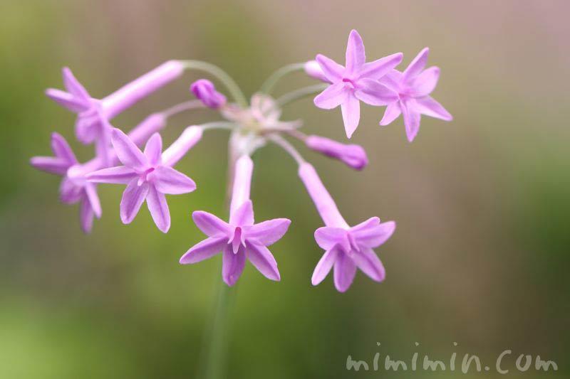 ツルバキア・紫の画像