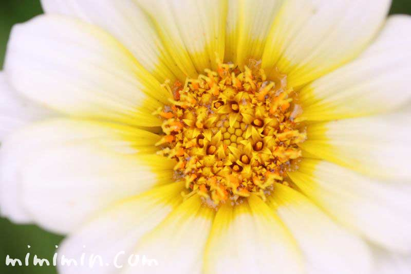 クンショウギク(勲章菊)の写真