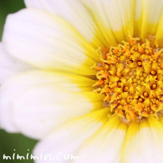 ガザニアの花の写真