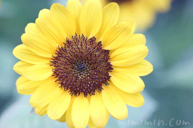向日葵の写真と花言葉の画像
