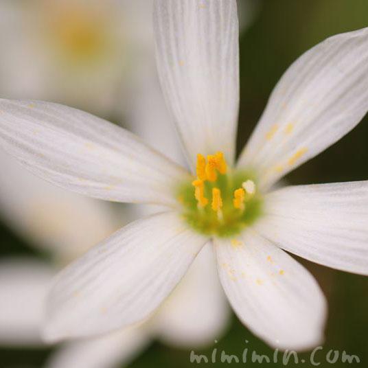 玉簾の花の写真