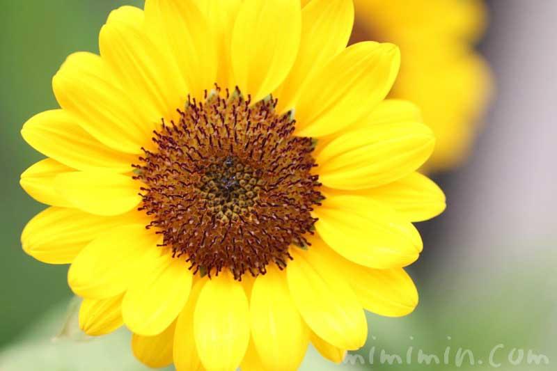 ひまわりの写真と花言葉の画像