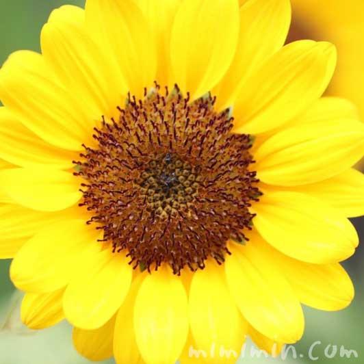 ひまわりの花の写真 花言葉