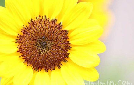 ひまわりの花の写真と花言葉の画像