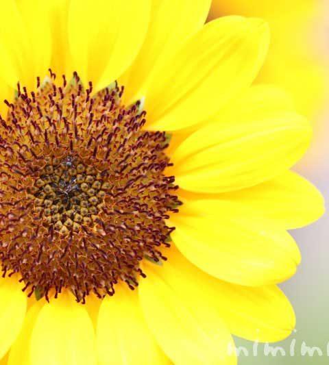 向日葵(ひまわり)の花言葉・名前の由来・誕生花・花の写真