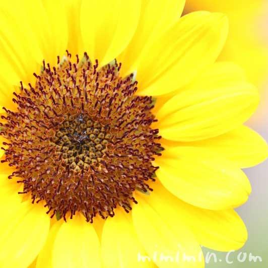 ひまわりの写真 花言葉