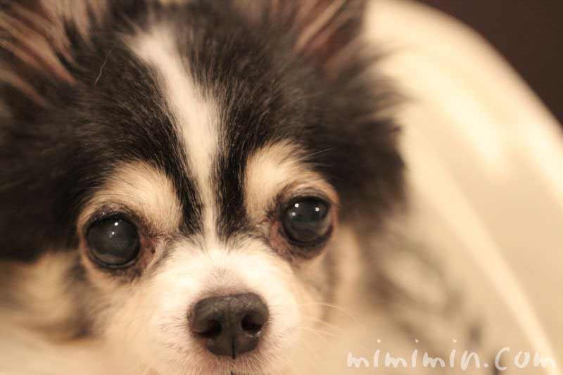 白内障(犬)の写真