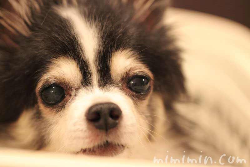 犬 白内障の画像