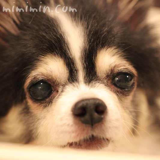 犬の白内障の写真