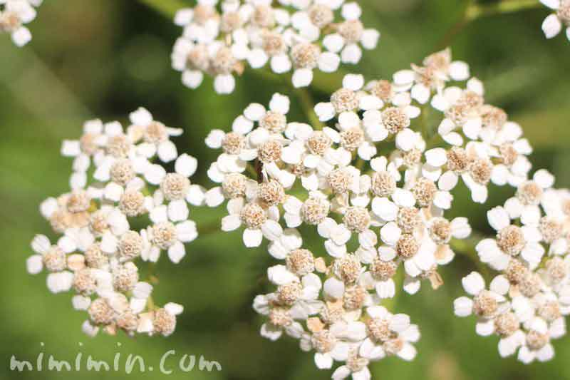 ヤロウの花の写真