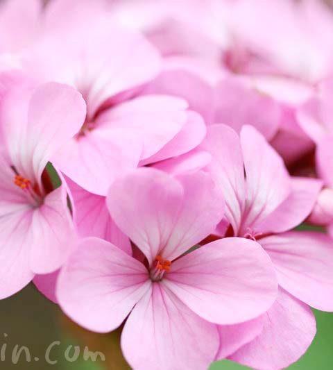 お散歩フォト・ゼラニウム(ピンク色)|ゼラニウムの花言葉・香りの効能