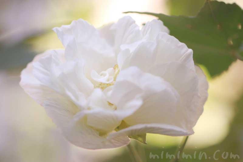 フヨウ 八重咲き