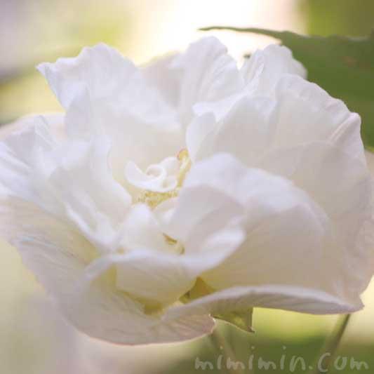 八重咲き 芙蓉
