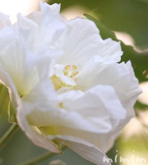 フヨウの花言葉・名前の由来・スイフヨウ(酔芙蓉)の花の写真