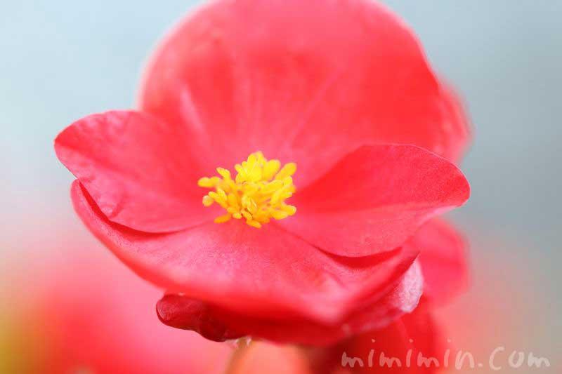 四季咲きベゴニア・赤の写真