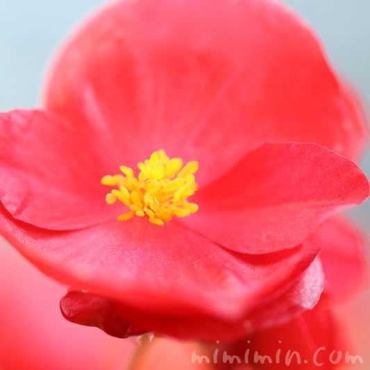 ベゴニア センパフローレンスの花の写真・赤