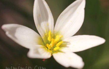 タマスダレの花の写真と花言葉