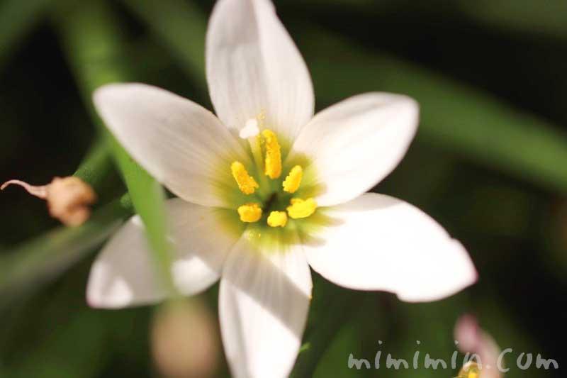 タマスダレの花の写真 花言葉の画像